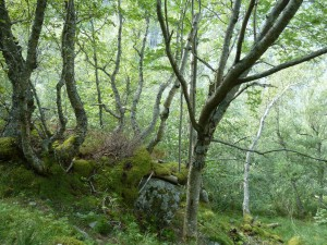Mountain Birch forest in Grøa, Sunndalen, Norway