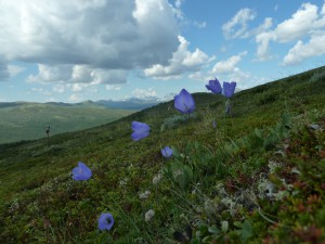 View towards Snøhetta, with Campanula rotundifolia in the front and the heath site in the background. Photo: Mia Vedel Sørensen