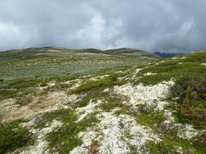The gray green part in the middle of the picture is our shrub community, dominated by Salix lapponum and Salix glauca. Otherwise the characteristic lichen cover for Dovre Mountains is very clear form this picture. Photo: Mia Vedel Sørensen