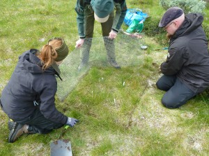 Setting up the exclosure in the meadow. Photo: Mia Vedel Sørensen.
