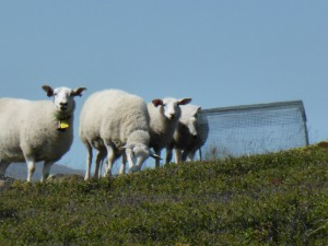A small weird cage: Herbivore exclosure in the heath keeping out sheep. Photo: Mia Vedel Sørensen