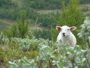 Sheep in front of Salix glauca near the heath community. Photo: Mia Vedel Sørensen